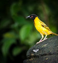 Black-headed Weaver Stock Photos