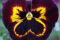Black heartsease macro see my other works in portfolio Royalty Free Stock Images