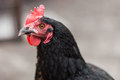 Black Hen Royalty Free Stock Photo