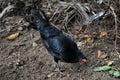 Black hens chicken animal of wildilfe Stock Images