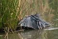 Black heron fishing covering its head while south africa Stock Image