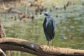 Black heron standing on a tree south africa Royalty Free Stock Photos