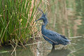 Black heron in water standing south africa Royalty Free Stock Photos