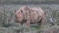 Black hooked lipped rhinoceros diceros bicornis etosha namibia Stock Photos