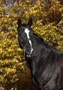 Black horse with blaze a beautiful riding a white in front of blue sky Royalty Free Stock Photo