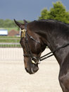 Black horse in bridle a head shot of a a snaffle Royalty Free Stock Photos