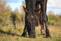 Black horse eating grass close up in autumn Royalty Free Stock Photos
