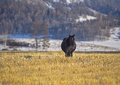 Black horse eats mowed yellow grass in the field on Altai snow mountains Royalty Free Stock Photo