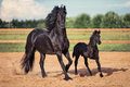 Black horse and foal running Royalty Free Stock Photo