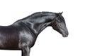 Black Horse Head On White Back...