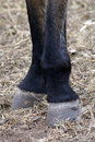 Black horse hooves argentine and legs up close Stock Image