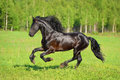 Black horse runs gallop on the meadow Royalty Free Stock Photo