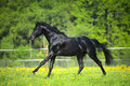 Black horse runs gallop in summer time Royalty Free Stock Photography