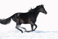 Black horse runs gallop on the white background Stock Image