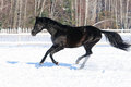 Black horse runs gallop in winter time Stock Photography