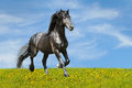 Black horse runs trot on the meadow Stock Photo