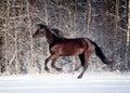 Black horse runs in winter the Stock Photos