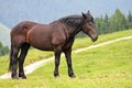 Black horse stud in the middle of the green lawn in the mountains Stock Image