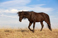 Black horse trakehner stallion in spring field Stock Image