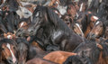 Black horse wild horses to sanitize and check with microchip Stock Photography