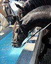 Black horses drinking in a water pylon, Spain Royalty Free Stock Photo