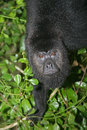 Black howler monkey alouatta pigra single mammal in tree belize Royalty Free Stock Photo