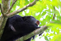 Black howler monkey howling close up