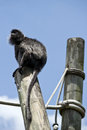 Black howler monkey sitting with white and gray highlights sits atop a large round wood pole as he looks up at the sky Stock Image