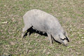 Black Iberian pig on a meadow Stock Photo