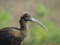 Black ibis head portrait is also known as indian or red napped it is common member of family of birds it can be seen at Stock Images