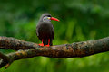 Black Inca Tern, red bill, Peru. Inca Tern, Larosterna inca, bird on the tree branch. Tern from Peruvian coast. Bird in the nature Royalty Free Stock Photo