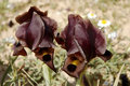 Black iris flowers. Royalty Free Stock Photos