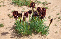 Black Iris Royalty Free Stock Photo
