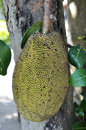 Black jack fruit real on real tree Stock Images