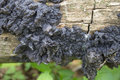 Black jelly roll witches butter fungus on a fallen rotting log in the forest Stock Photos