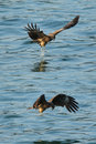 Black kite_05 Stock Photo