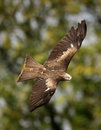 Black Kite Stock Photo