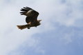 Black kite a from below Royalty Free Stock Images