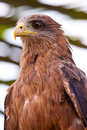 Black kite bird sitting in a tree Royalty Free Stock Photo