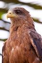 Black kite bird sitting in a tree Royalty Free Stock Photo