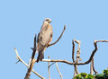 Black kite on a bough bird named in uganda africa sitting in front of blue sky in sunny ambiance Royalty Free Stock Image