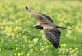 Black Kite in flight Stock Image