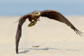 Black kite in flight with fish in legs. Front view Royalty Free Stock Photo