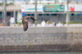 Black Kite flying in city with blur city background Royalty Free Stock Photo