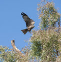 Black kite flying over a tree Royalty Free Stock Image