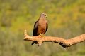 Black kite on leafless branch Royalty Free Stock Photo