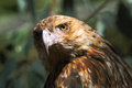 Black kite the is a medium sized raptor bird of prey Royalty Free Stock Photos
