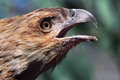 Black kite the is a medium sized raptor bird of prey Stock Image