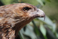 Black kite the is a medium sized raptor bird of prey Royalty Free Stock Images