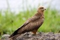 Black kite milvus migrans in the african savanna Royalty Free Stock Image